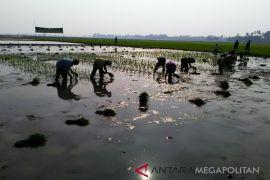 Belasan ribu hektare sawah Karawang terlambat tanam