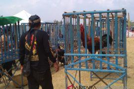 Ayam pelung se-Indonesia adu suara