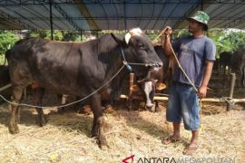 Pesanan sapi kurban Sukabumi tembus hingga Belanda