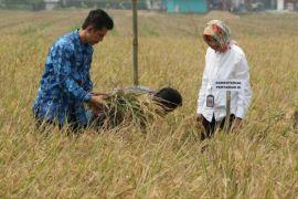 Distan Karawang: Produksi padi selama kemarau normal
