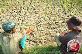Ratusan hektare sawah di Karawang