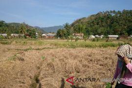 Puluhan hektare sawah Citepus Sukabumi gagal panen