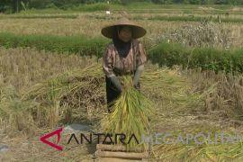 Sukabumi surplus beras mencapai 350 ribu ton pada 2018