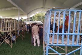 Ratusan ayam Pelung dan Ketawa ikut kontes