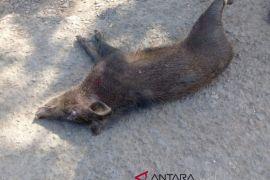 Kekurangan makanan kawanan babi hutan masuk perkampungan