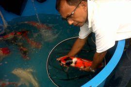 Pembudidaya ikan Sukabumi kembangkan koi berkualitas kontes