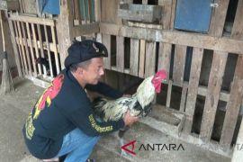 HIPPAP Nusantara murnikan plasma nutfah ayam pelung