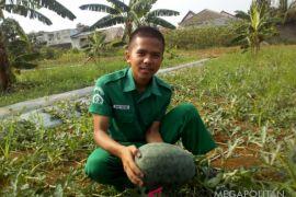Mahasiswa Polbangtan kembangkan budidaya semangka kuning