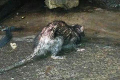 Peneliti IPB: tikus got dan tikus rumah menjadi perantara penyakit kecacingan
