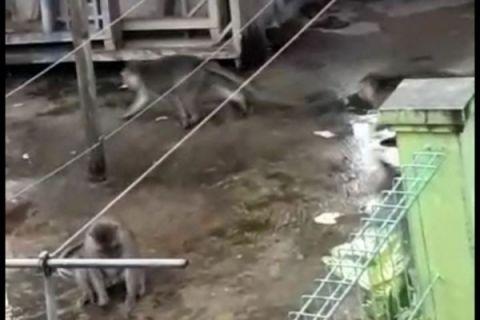Ada warga Jatiasih Bekasi digigit monyet liar