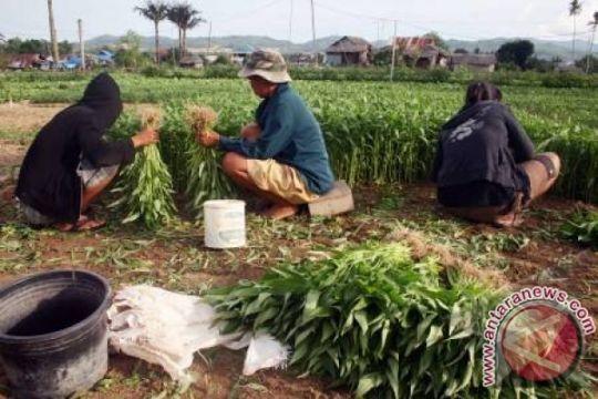 Kabupaten Bogor Sentra Produksi Kangkung Unggul