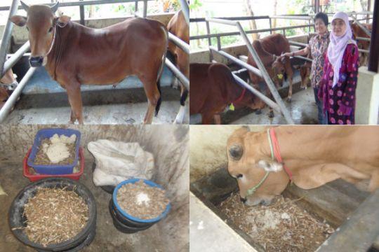 IPB teliti daya dukung limbah kacang kedelai untuk tingkatkan produktivitas sapi