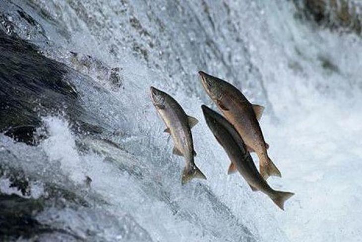 Guna lindungi ikan langka, China lepaskan dua juta benih salmon