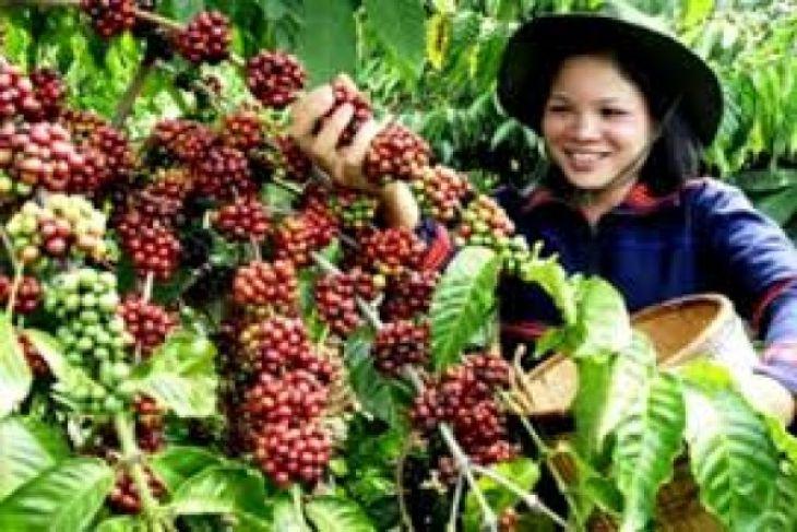 Produksi kopi menurun, mengapa?