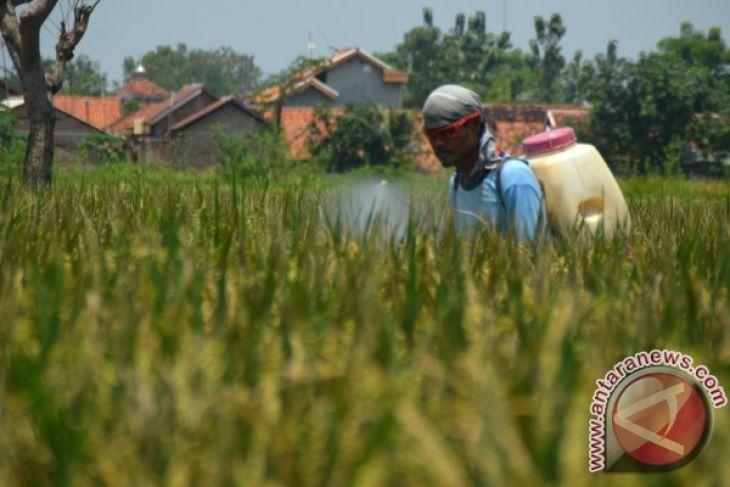 Waduh, Puluhan Hektare Sawah Di Karawang Gagal Panen