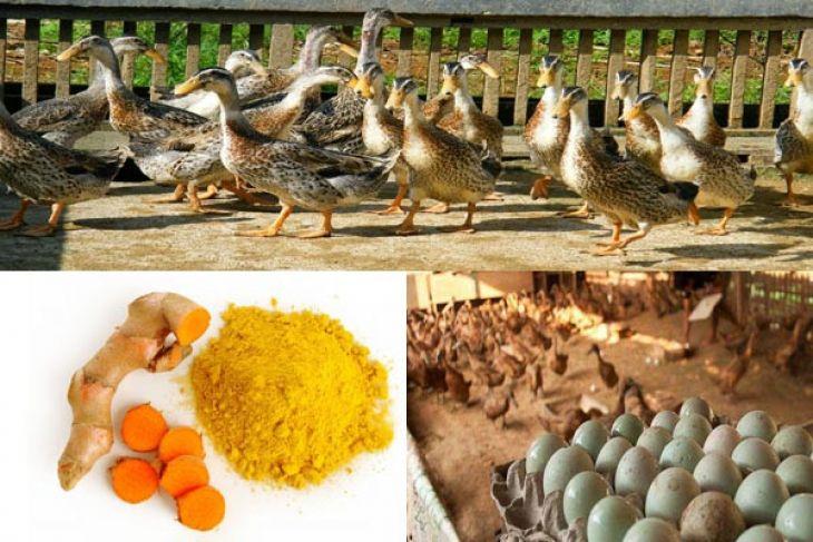 IPB Teliti Telur Itik Lokal Yang Diberi Perlakuan Kurkumin Dan Cahaya