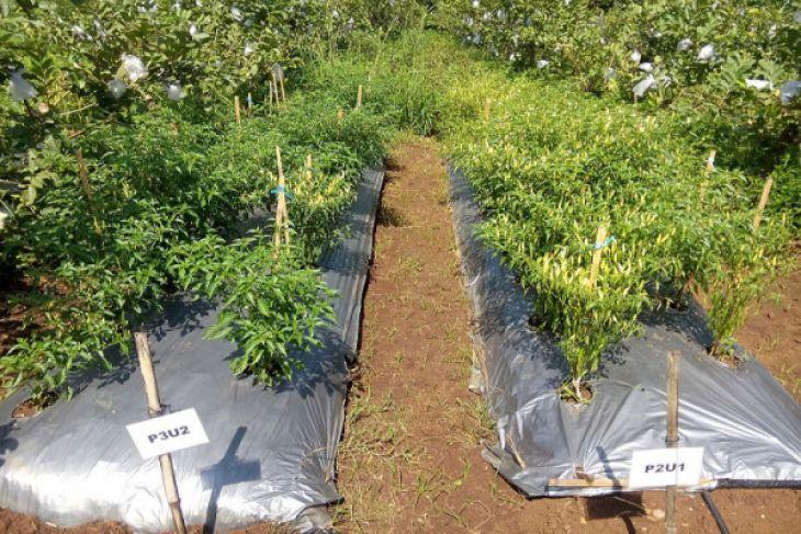 Mahasiswa IPB Kembangkan Metode Aplikasi Fertigasi Pada Cabai Rawit