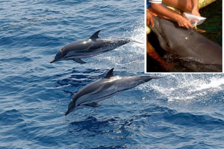 Peneliti IPB ungkap kondisi mikrobiologis alat pernafasan lumba-lumba