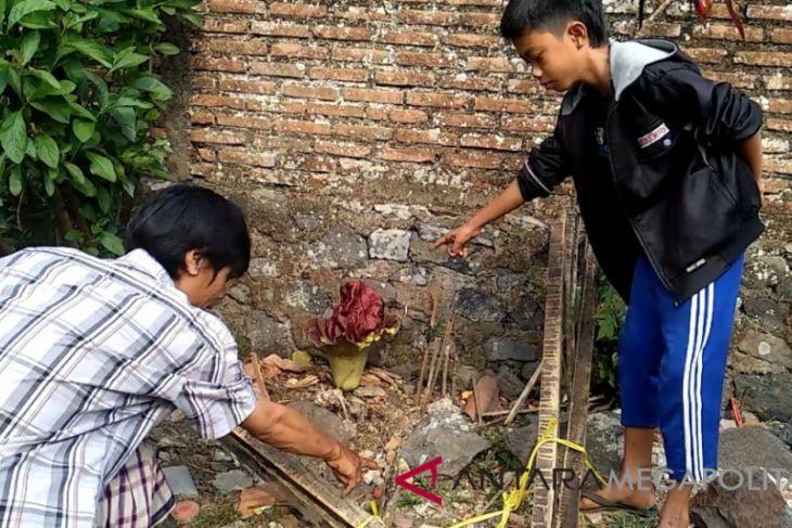 Dua bunga bangkai tumbuh di permukiman milik warga