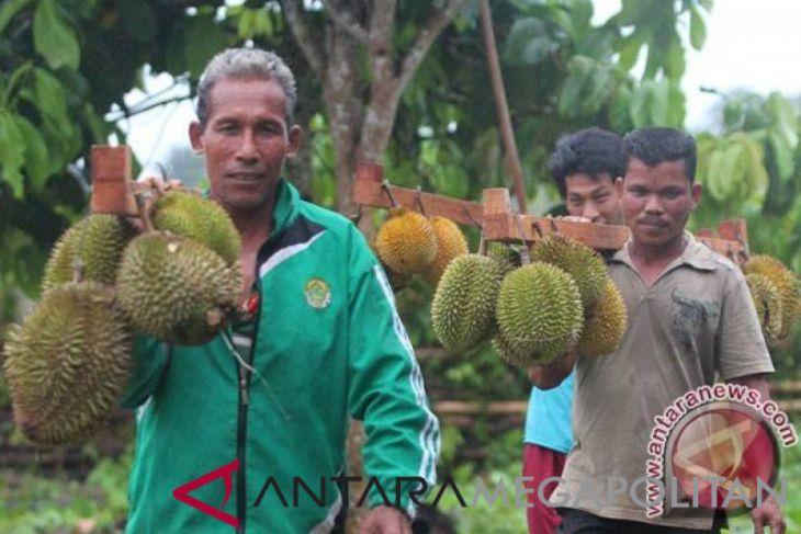 Wisata kebun durian di Garut, petik durian dan langsung makan