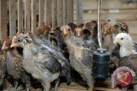 Penjualan Daging Ayam Potong Di Gorontalo Menurun