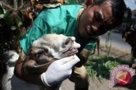 Pemkab Bone Bolango Antisipasi Penyakit Pada Hewan Kurban