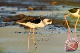 Perburuan Burung di Danau Limboto Belum Ditangani Serius