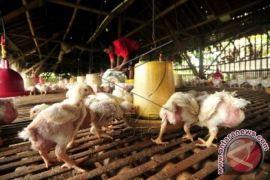 Fadli Zon: Kondisi Peternakan Ayam Darurat