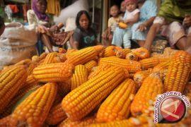 Harga Jagung Di Gorontalo Utara Naik