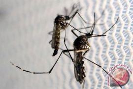 Brasil lepas nyamuk modifikasi lawan Zika dan demam berdarah