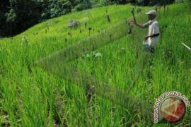 Gorontalo Utara Galakkan Penanaman Padi Ladang