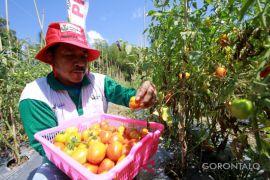Pemkab Harap Demplot Tomat Tingkatkan Pendapatan Petani