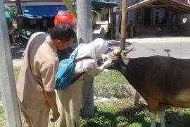 Disnakkeswan Periksa Kondisi Hewan Kurban Gorontalo Utara