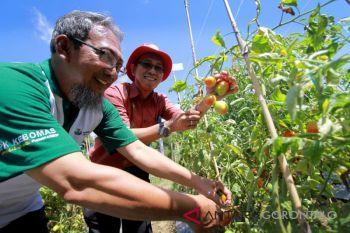 Warga Apresiasi Panen Tomat Gunakan Pupuk Organik