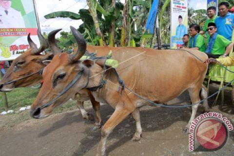 Bupati Gorontalo dan Deputi BKKBN Naik Roda Sapi