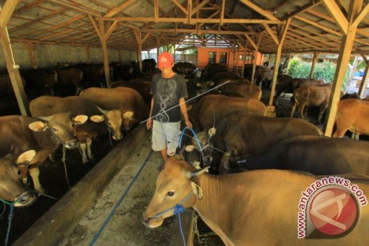 Bone Bolango Bakal Percontohan Pengembangan Ternak Sapi