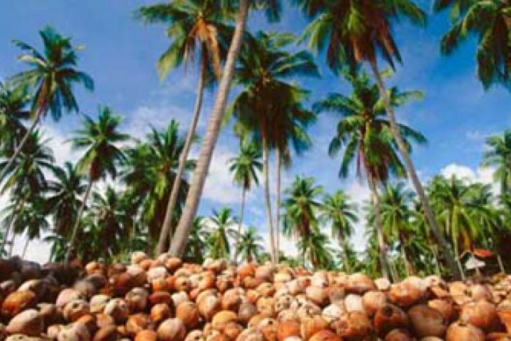 Tinggal 220 Ribu hektare Kelapa di Sulut Produktif