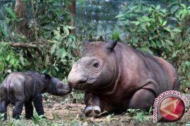 Badak sumatera terakhir di Amerika akan dibawa ke Indonesia