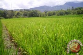 Lahan Sawah Kota Jambi Susut