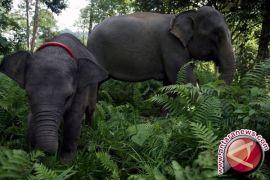 BKSDA Jambi giring tiga ekor gajah ke habitatnya