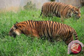 Harimau terkam warga