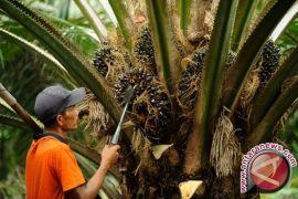 Target peremajaan tanaman sawit Jambi