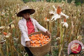 Jambi siap produksi benih jagung unggul lokal