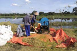 Produksi padi di Batanghari 18.793 ton