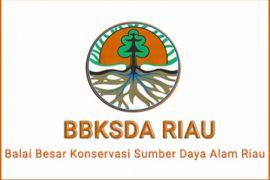 BKSDA Riau tembak bius harimau Bonita