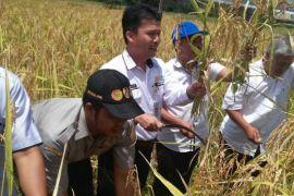 BPP Jambi fasilitasi pelatihan budidaya padi ladang (video)