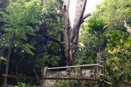 Cengkih Afo mengingat jejak rempah