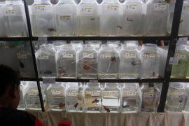 750 ikan cupang jadi bintang kontes internasional di Padang