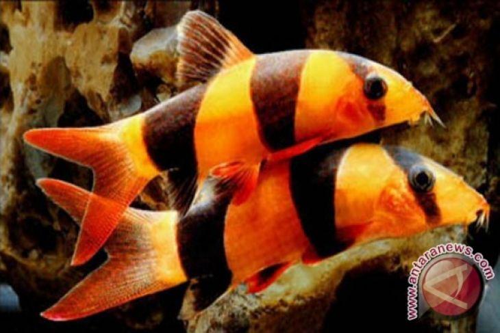 Pengiriman Ikan Hias Jambi Capai 181.396 Ekor