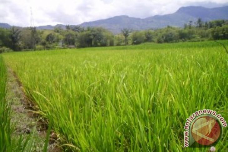 Genjot produksi padi lewat SRI